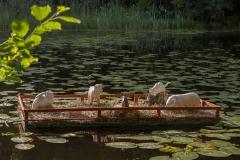Djurmöte på en liten flotte i Kvarndammen. Av Aline Magnusson