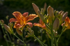 Daglilja-orange-1-kopia