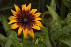 Blommor-i-vår-trädgård-Juli-2015-Rudbeckia-Hirta