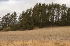 Kanadagäss med en del av Strömsholmsåsen i bakgrunden.