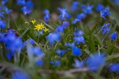 Gul Vårlök i blått Scillafält