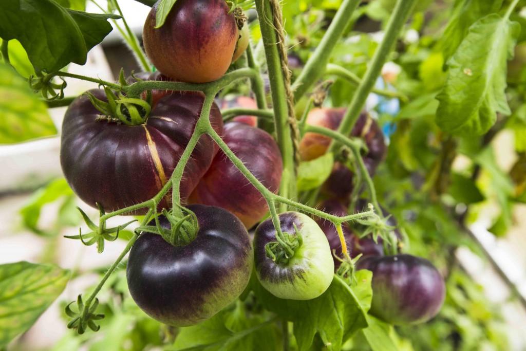 Tomater i växthuset 1