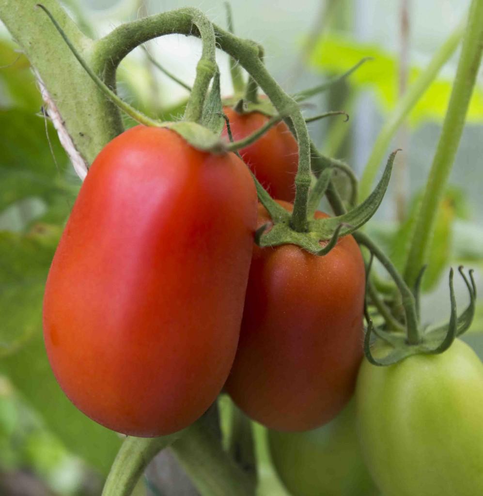 Tomater i växthuset 2