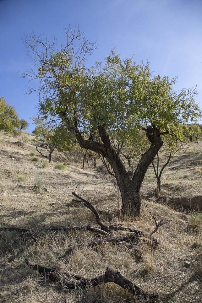 Nerja Nötträd-1
