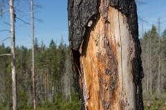 Brandskadade träd
